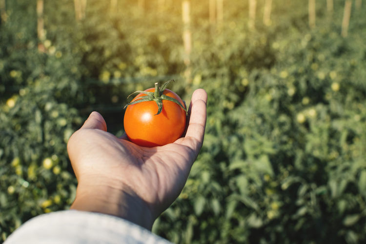 Cropped Image Of Hand Holding Tomato Against Plant