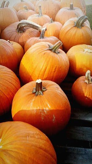 Fall Pumpkins Pumpkinpatch Orange Pumpkinpicking