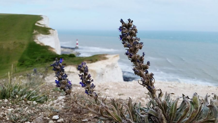 Sea view Seaview Seaview From A Distance Plants Cliffs Cliffside Lighthouse #coast British British Coastline English Countryside Seven Sisters Outdoors Cliff Edge Closeup EyeEm Selects Nature Plant Tranquility No People Beauty In Nature Beach Landscape