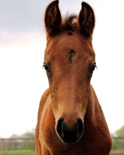 Filly 🐴🐎 Animal Looking At Camera Horse Horses Riding Equestrian Pet Sweet Cute Sweetness Nature Brown Filly Littlegirl Little Young Scenery Landscape Love Equestrianlife Portrait Animal Themes Grass Happyness Pet LoveryeEm Selects