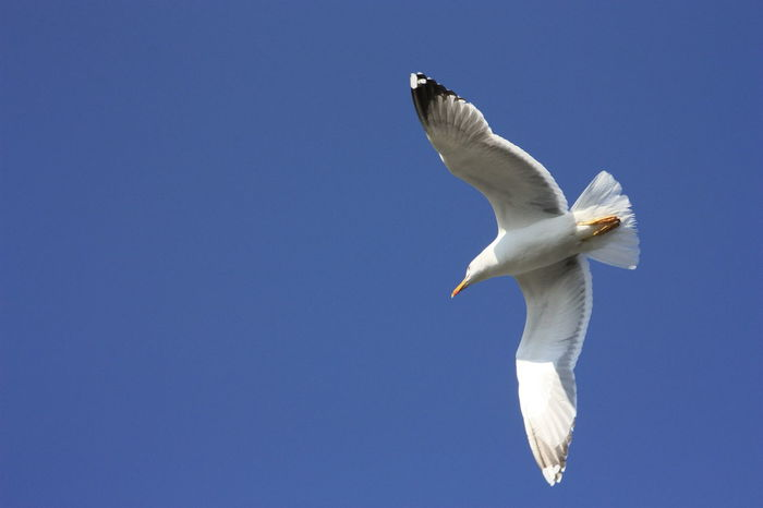 Seagull in the blue sky, freedom of flight Seagull Flying Bird Flying Seagull Flying In The Sky Animal Themes Animals In The Wild Bird Blue Clear Sky Day Flying Full Length Low Angle View Mid-air Nature No People One Animal Outdoors Sky Spread Wings White Color Copy Space EyeEmNewHere The Great Outdoors - 2018 EyeEm Awards