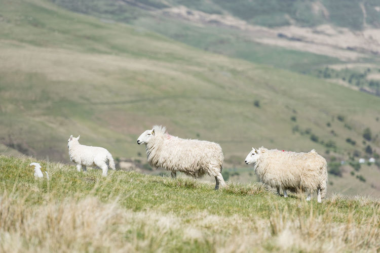 Sheep family on the wild pastures of brecon beacons, wales, uk