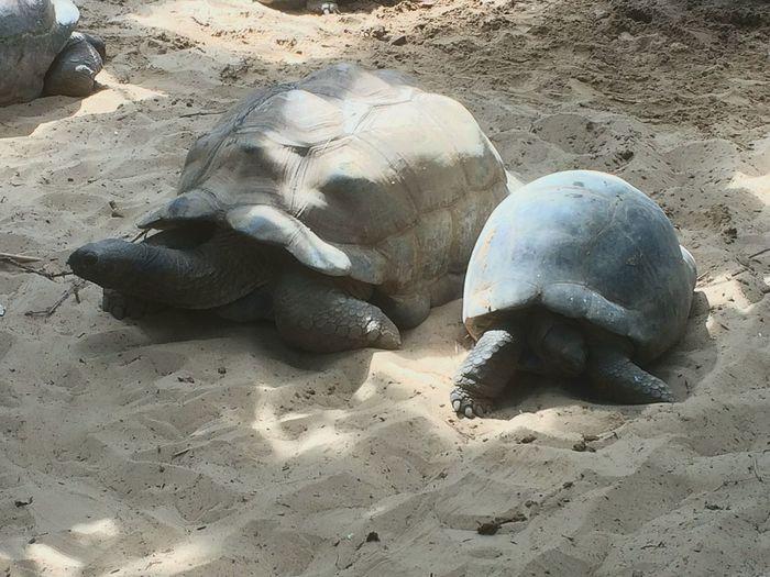 "Tartarughe giganti ... Parco ""Le Cornelle"" Tartarughe Giganti Lecornelle Parco Le Cornelle Italy Sabbia Sand Turtles"