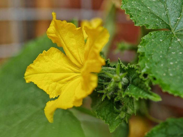 Cucumbers CucumberflowerBlossom In Bloom Nature Macro Garden Blossoms  Macro_collection Close-up Close Up Perspectives Fragility Outdoors No People Taking Photos From My Point Of View Plants Plants And Flowers Nature_collection Fine Art Nature On Your Doorstep