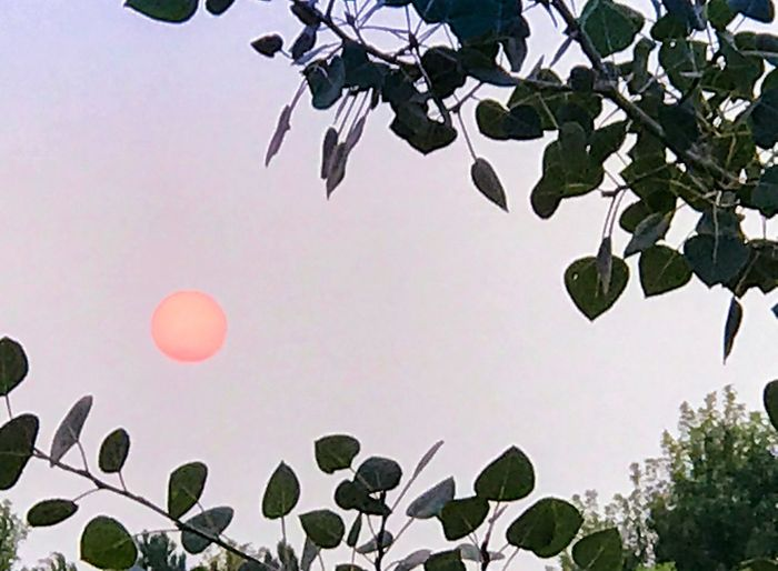 Leaf Low Angle View Tree Growth Nature Branch Beauty In Nature Sky Outdoors Day Clear Sky Green Color Plant No People Balloon Flower Freshness Hot Air Balloon Sunset