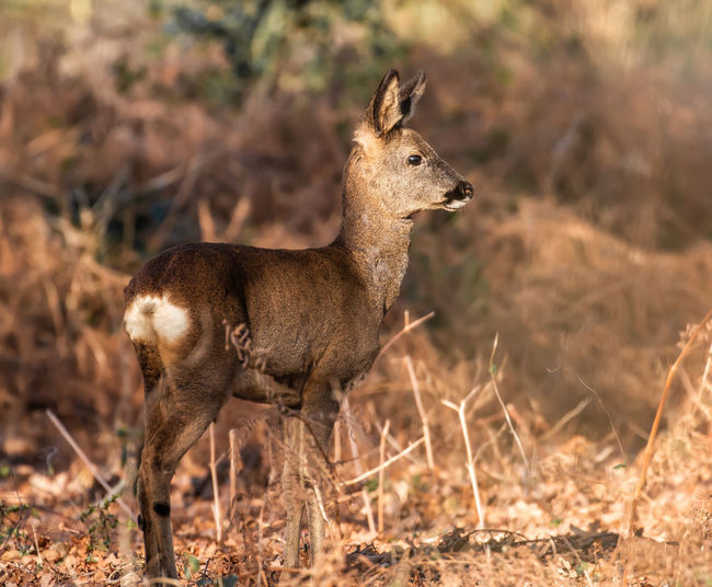 Roe Deer हिरन 鹿 Animal Animal Themes Animal Wildlife Mammal Animals In The Wild One Animal Vertebrate Land Nature Standing No People Field Focus On Foreground Looking Day Side View Outdoors Brown Sunlight Herbivorous Fawn Deer Roe Deer Jason Gines
