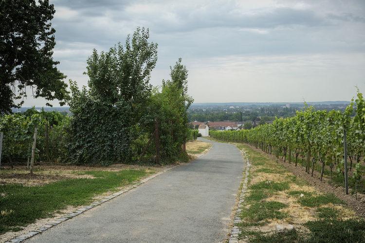 Weg im Weinberg