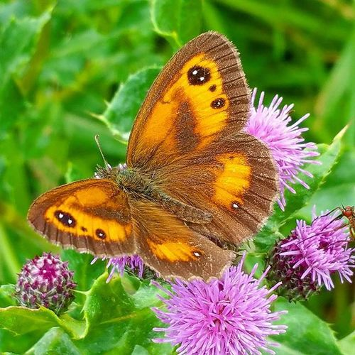 Gatekeeper butterfly. Butterfly Gatekeeper Gatekeeperbutterfly Naturelovers Nature Instadaily Naturelover