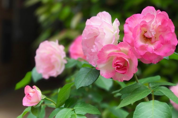 The Roses Flower Pink Color Nature Beauty In Nature The Rose Roses Rose🌹 Rise