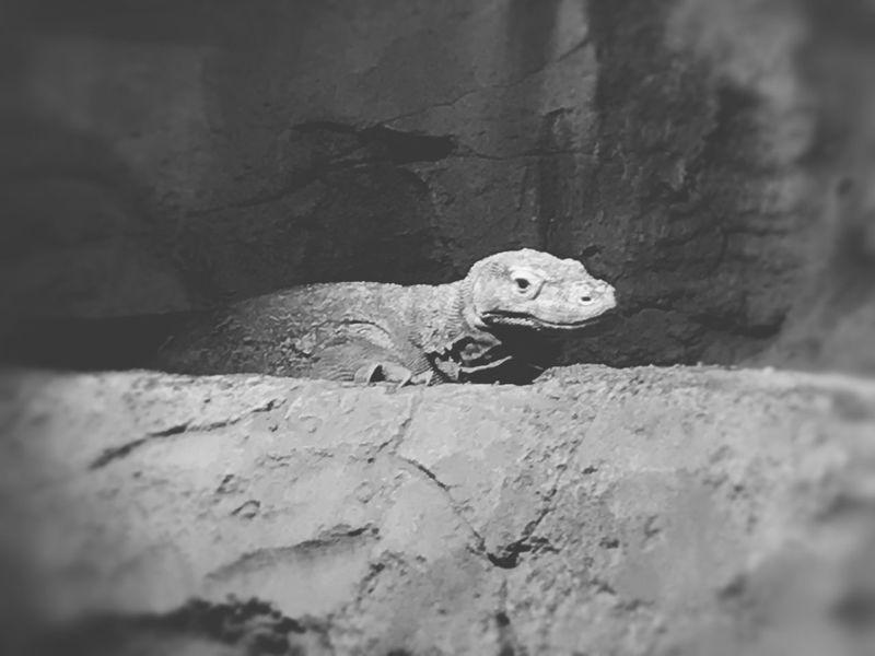 Komodo Dragon Komodo Varan Animals In The Wild Animal Themes Nature Close-up Outdoors Day