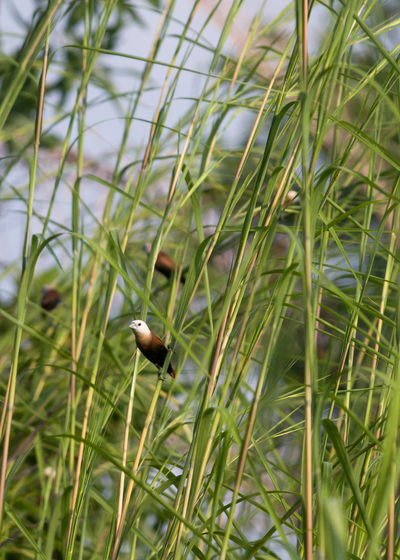 White-headed munia in the weeds Animal Themes Animals In The Wild Beauty In Nature Bird Birds Birds Of EyeEm  Close-up Focus On Foreground Green Color Lonchura Maja Nature No People Outdoors Selective Focus White-headed Munia Wildlife