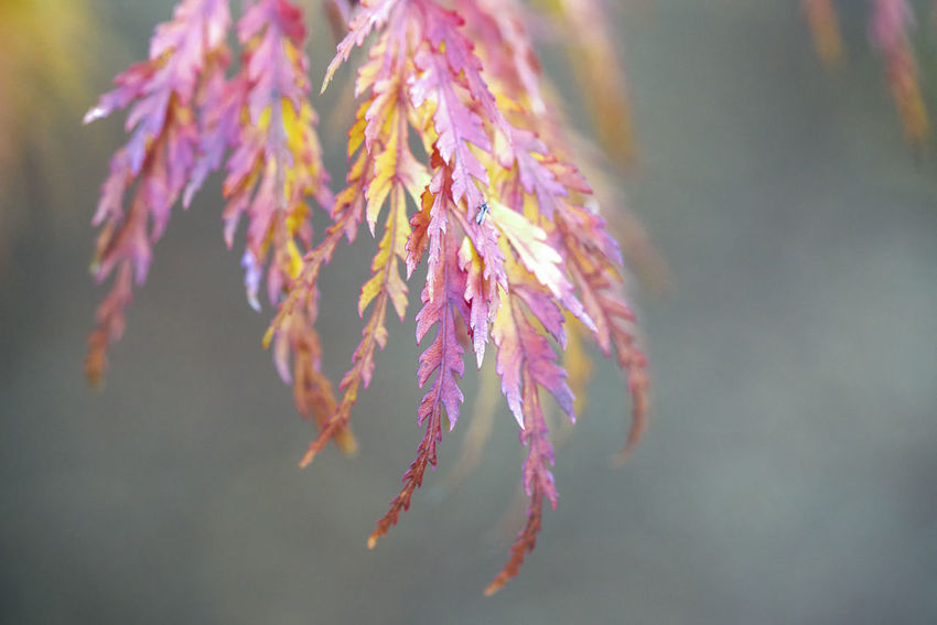 Japanese maples Beauty In Nature Branch Close-up Day Flower Flowering Plant Focus On Foreground Fragility Freshness Growth Leaf Nature No People Outdoors Pink Color Plant Purple Selective Focus Tranquility Tree Vulnerability