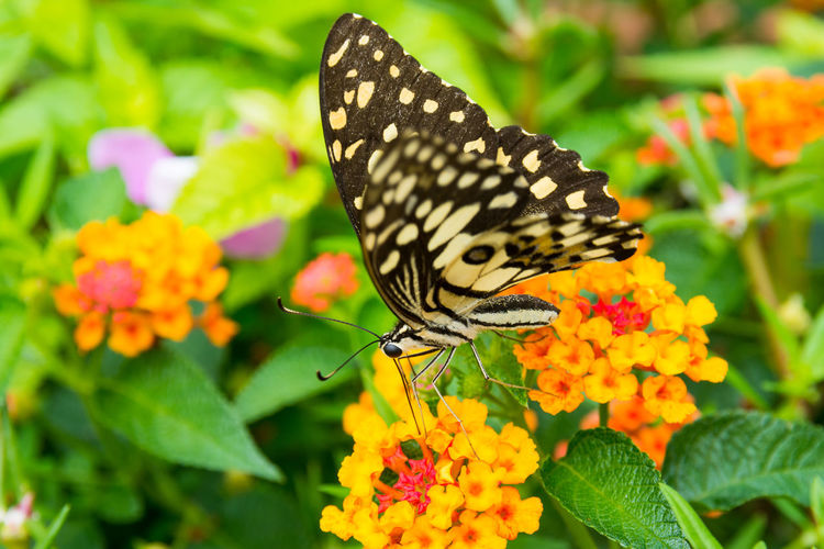 Lime butterfly (Papilio Demoleus Malayanus) on flower in Chiang Mai, Thailand Animal Themes Animals In The Wild Arthropod Beauty In Nature Butterfly Butterfly - Insect Close-up Demo Flower Focus On Foreground Fragility Freshness Growth Insect Malayanus Nature One Animal Outdoors Papilio Demoleus Malayanus Petal Pollination Springtime Vibrant Color Wildlife Yellow
