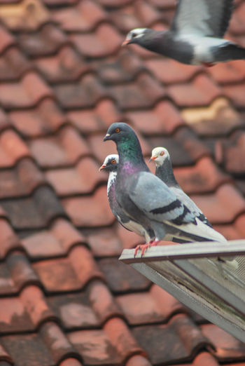 Close-up of pigeons perching on roof