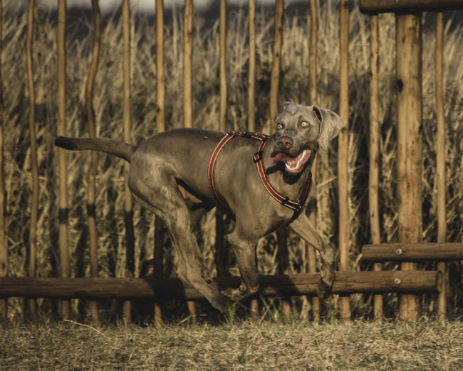 wait what? Animal Animal Themes Canine Day Dog Domestic Domestic Animals Field Focus On Foreground Grass Land Mammal Mouth Open Nature No People One Animal Pets Plant Side View Vertebrate Weimaraner Wood - Material