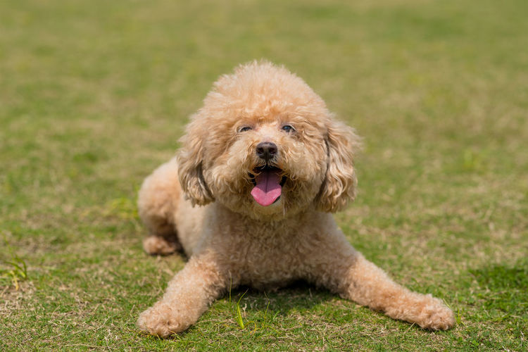 Poodle dog Dog Canine One Animal Animal Themes Animal Pets Mammal Domestic Domestic Animals Poodle Grass Portrait Mouth Open Mouth Panting Looking At Camera Brown No People Sitting Facial Expression Animal Mouth Small Purebred Dog Animal Tongue Innocence
