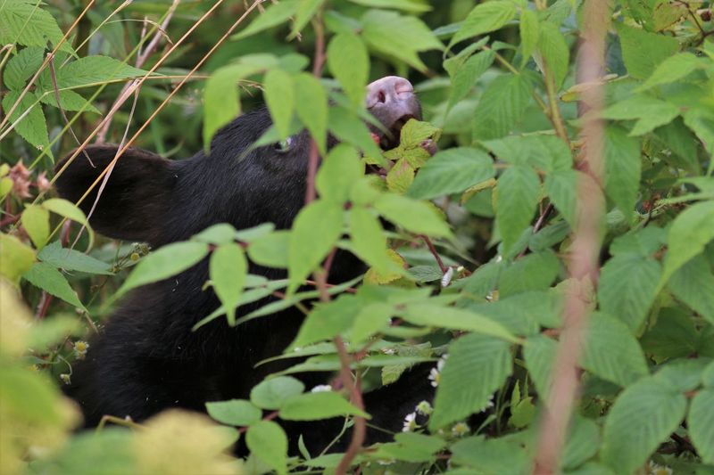 Black Bear in Great Smokey Mountain National Park eating berries Animal Animal Themes Animal Wildlife Plant Vertebrate Animals In The Wild Leaf Plant Part Mammal Green Color One Animal No People Growth Nature Tree Day Branch Animal Family Black Bear Great Smokey Mountain National Park Berries