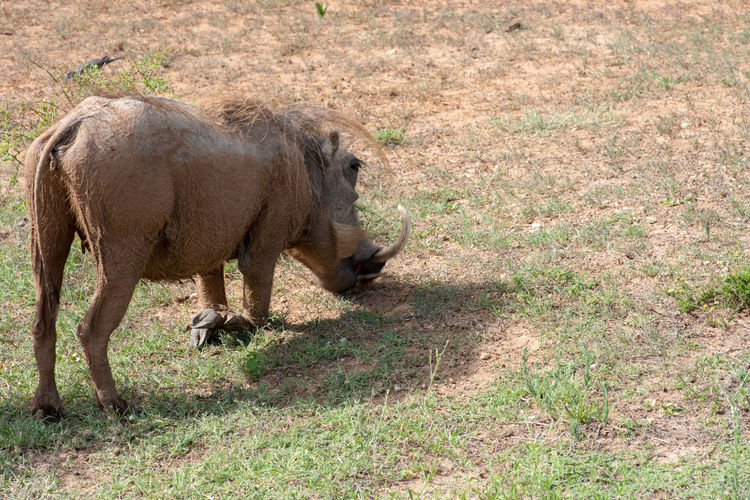 Warthog Animal Themes Animal Mammal One Animal Animal Wildlife Animals In The Wild Vertebrate Grass No People Nature Day Domestic Animals Field Land Plant Full Length Outdoors Standing Walking Side View Herbivorous Profile View Warthog