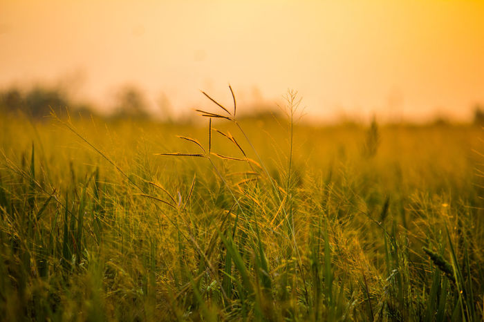 Meadow Nature No People Sunset Scenics Growth Outdoors Beauty In Nature Close-up Living Organism Day