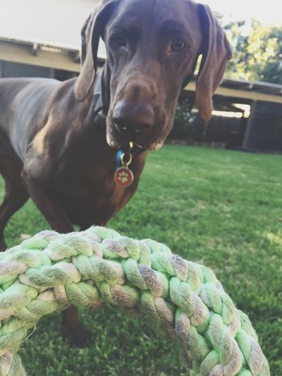 Animal Themes One Animal Domestic Animals Germanshorthairedpointer Pointer Dog Games We Play Pets Dog Day Grass No People Close-up
