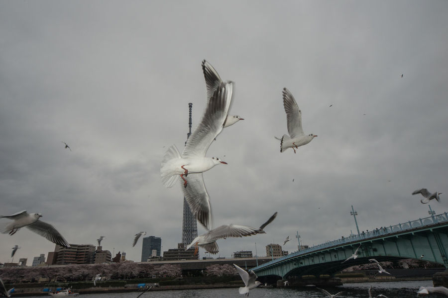Bird Photography Birds_collection Cloud Gulls Sumidariver Tokyo,Japan