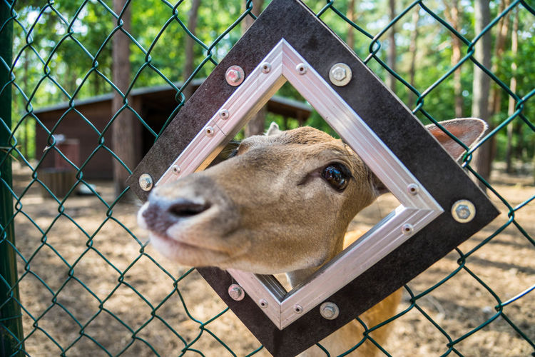 Deer Animal Animal Body Part Animal Head  Animal Themes Barrier Boundary Chainlink Fence Day Domestic Domestic Animals Fence Focus On Foreground Großstadtsafari Herbivorous Livestock Mammal Metal No People One Animal Outdoors Protection Safety Security Snout