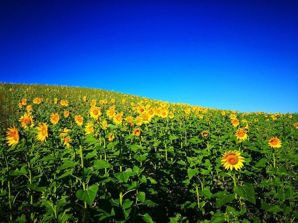 Girasole🌻🌻🌻🌻 Yellow Flower Yellow Blue Backgrounds Sky Plant Green Color Sunflower Pollen Petal Cultivated Land Cosmos Flower