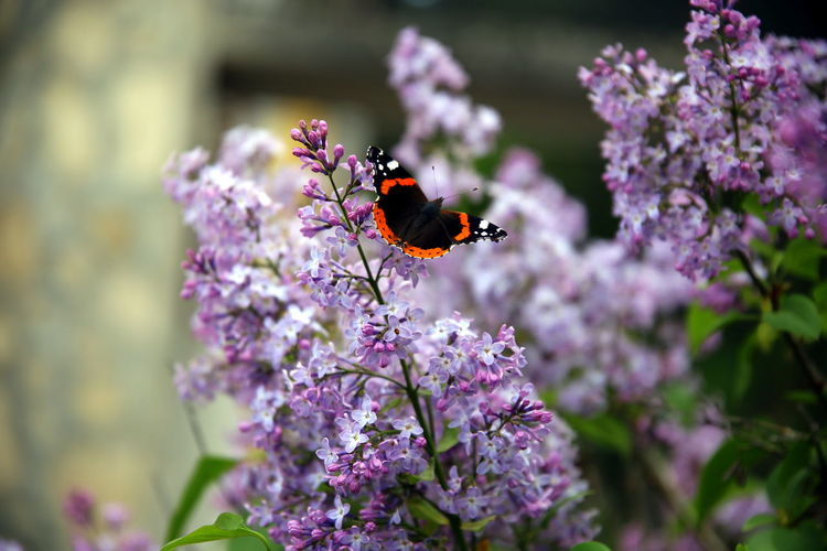 View of butterfly with open colored wings on lilac flowers and blurred background