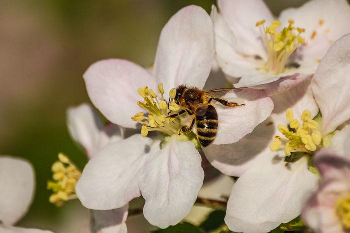 Honigbiene Honigbiene Close-up Flower No People Beauty In Nature Animal Themes Flower Head Bees And Flowers Best Shots Hofi Best Pflanzen & Früchte Hofi Kirchschlag In Der Buckligen Welt