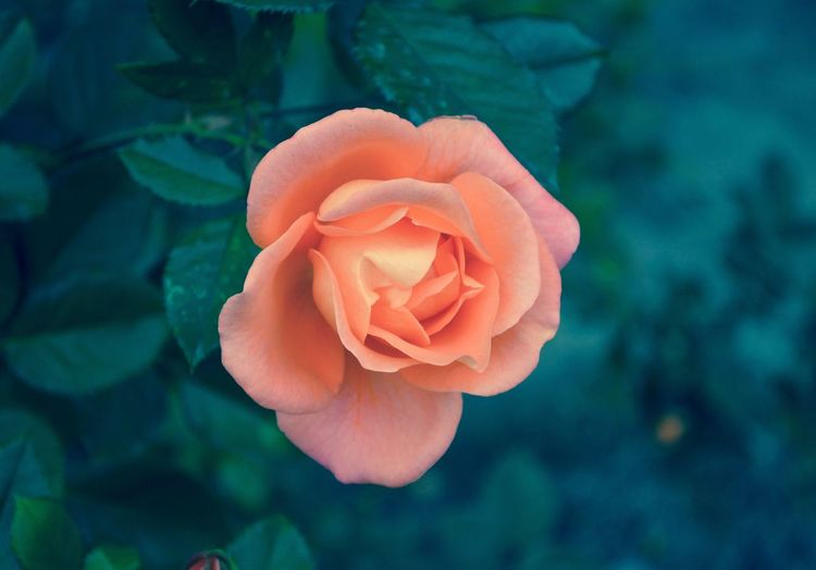 A Rose Beautiful Pink Plants Beauty In Nature Blooming Bud Close-up Flower Flower Collection Flower Concepts And Ideas Flower Head Flowers Focus On Foreground Natural And Oranic One One Single Rose Outdoors Peach Petal Rose Blooming Rose Buds Rose Garden Roses Roses Growing And In Bloom Rose🌹