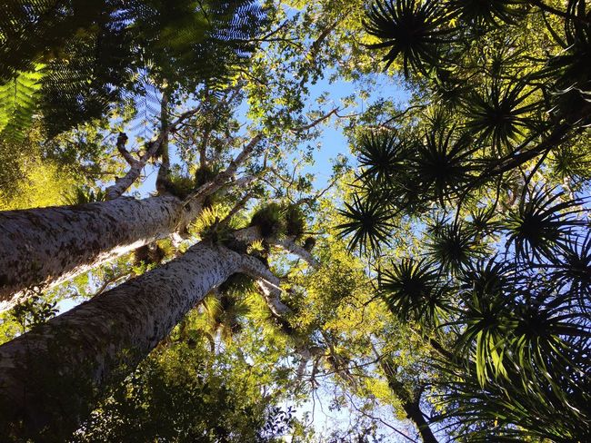 Trees Rainforest Kauri Showcase April Lookingup The Great Outdoors With Adobe The Great Outdoors - 2016 EyeEm Awards Feel The Journey Color Palette Miles Away Perspectives On Nature