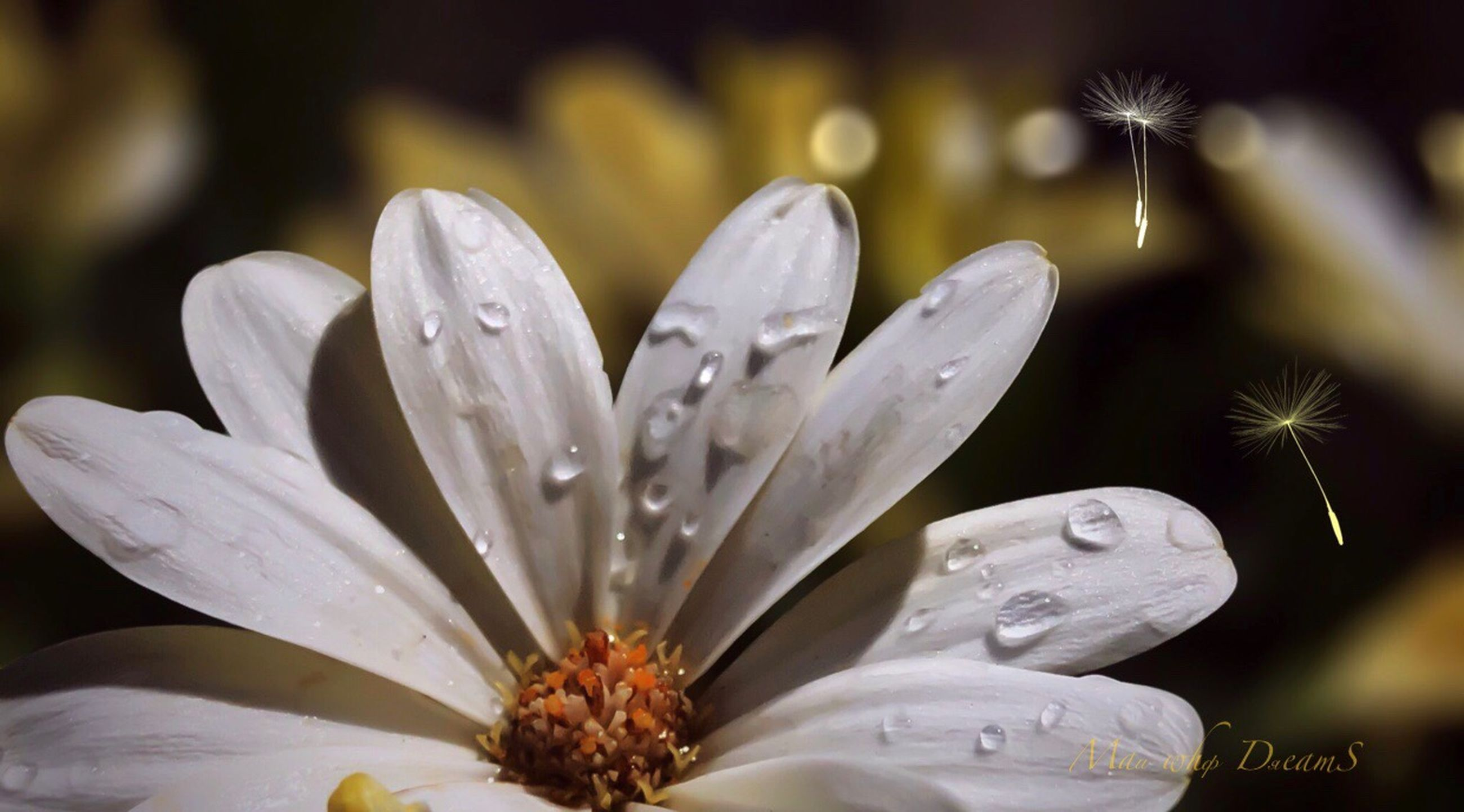 flowering plant, flower, vulnerability, fragility, petal, plant, growth, beauty in nature, freshness, drop, flower head, inflorescence, close-up, water, wet, pollen, white color, focus on foreground, no people, softness, raindrop, dew, purity