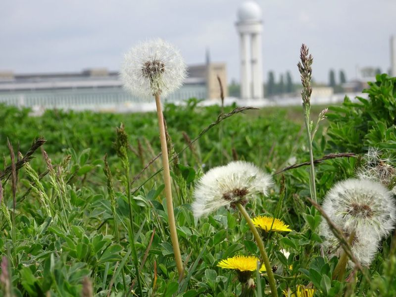Airport Flower Dandelion Fragility Growth Nature Plant Flower Head Tempelhofer Feld Freshness Uncultivated Wildflower Stem Botany Focus On Foreground White Color Field Blooming Outdoors Day Close-up