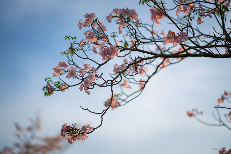 Pink trumpet tree (ชมพูพันธุ์ทิพย์) Almond Tree Beauty Beauty In Nature Blossom Branch Close-up Day Flower Flower Head Fragility Freshness Fujifilm Growth Low Angle View Nature No People Outdoors Sky Springtime Tabebuia Rosea Tranquility Tree Trumpet Twig X-T20