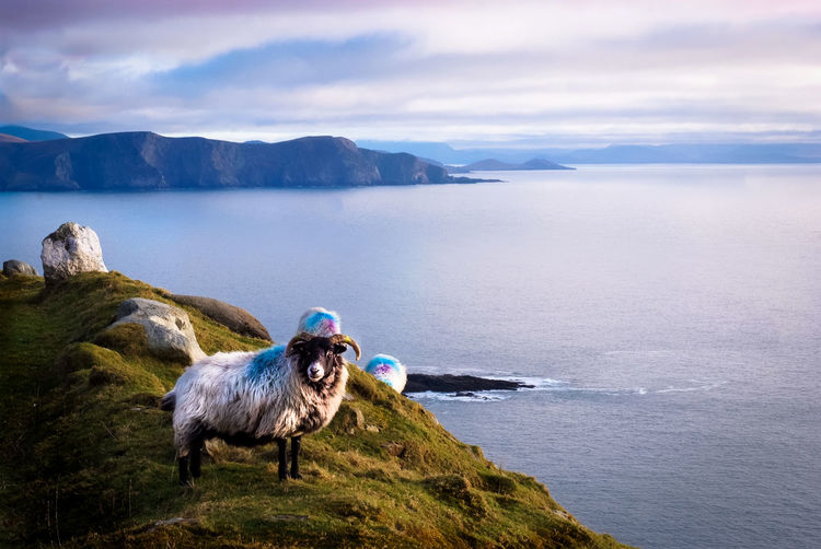 Sheep On Sea Shore Against Sky