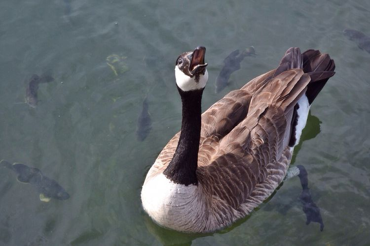 """""""Feed me!"""" Goose Bird Tame Hungry Open Mouth Water Lake Maple Grove Minnesota Geese"""