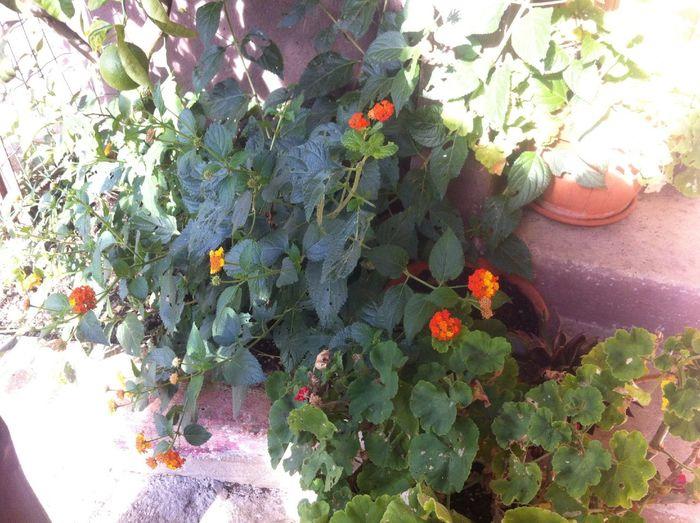 Come fiorisce la mua verbenia ?