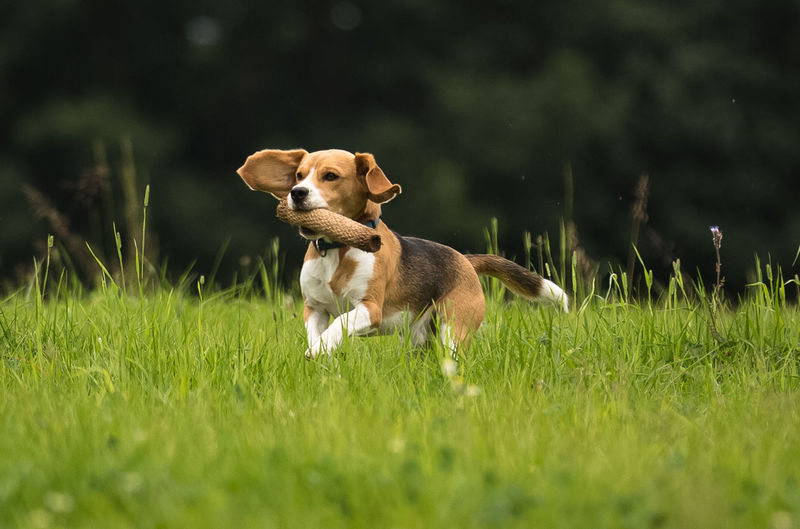 Dog carrying plant in mouth while running on grassy field