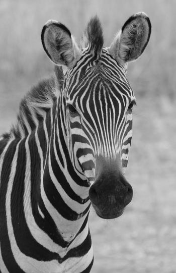 EyeEmNewHere Tanzania Tarangire Animal Wildlife Animals In The Wild Blackandwhite Photography Close-up Focus On Foreground Nature No People One Animal Outdoors Safari Standing Striped Tarangire National Park Zebra