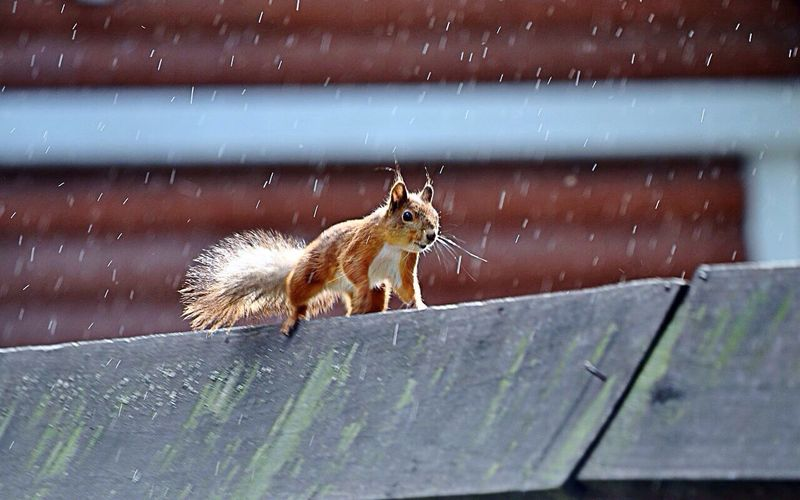 Low angle view of eurasian red squirrel on roof during rain