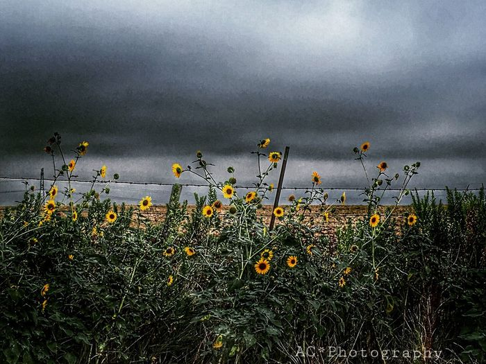 A storm awaits us... Grey Clouds Stormy Weather Sunflowers Fields And Sky Country Life Country Scenes EE Love Connection!