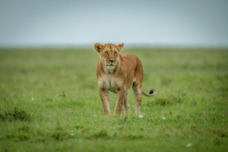 Portrait of lion standing on land
