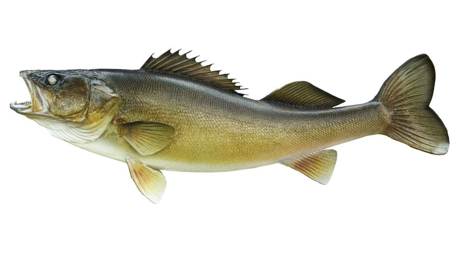 Close-up of walleye fish over white background