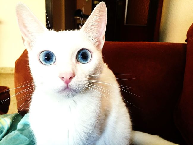 Cat Cats Cat Lovers Blue Eyes Eyes Animals Catoftheday