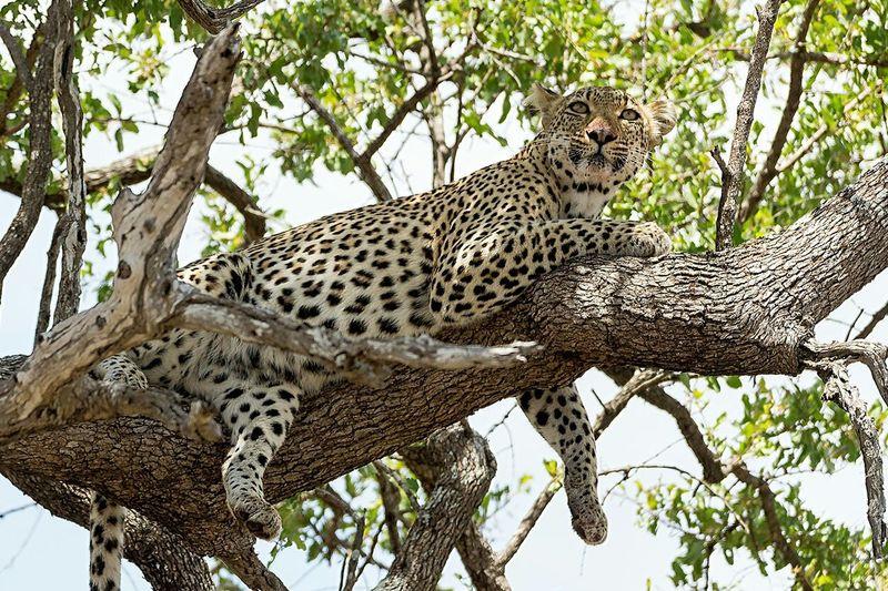 Traveling Ampimages Photography Animal Wildlife Leopard Safari Krugernationalpark