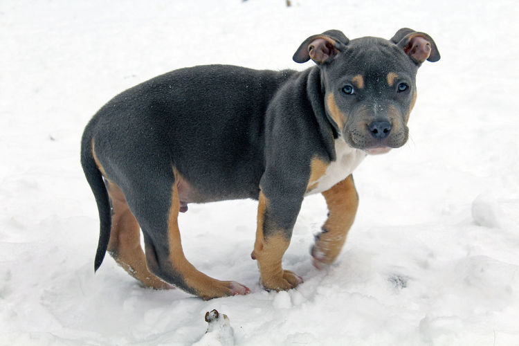 Side view portrait of cute puppy walking on snow