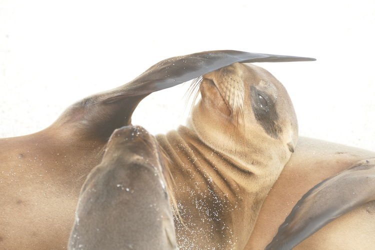 Close-up of a cropped seal pup