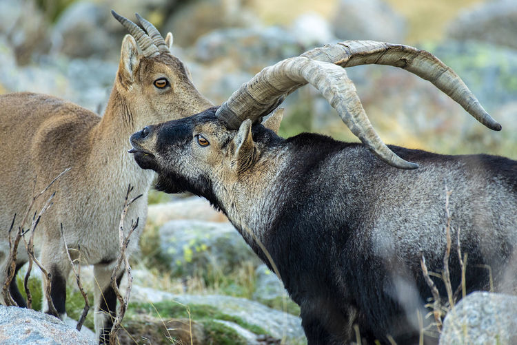 Ibex Pyrenaica CAPRA Gredos Victoriae Animal Animal Themes Animal Wildlife Animals In The Wild Mammal Vertebrate Land Nature Day No People Focus On Foreground Horned Herbivorous
