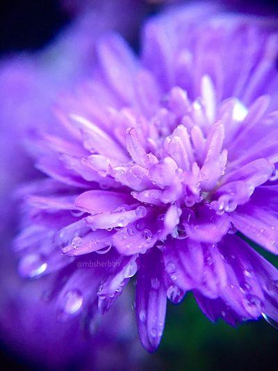 Garden Flower Collection Eye4photography  Macro Macro_collection Purple Flowers Rain Everyday Beauty Florida