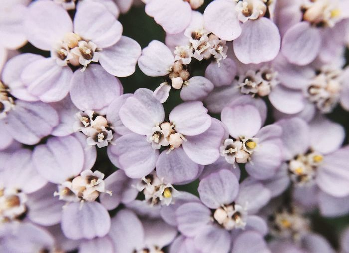 Macro of a yarrow, love how it looks like a blossom in the blossom Check This Out Yarrow Wildflowers Beautiful Nature From My Point Of View White Flower Switzerland Flora EyeEm Nature Lover Olloclip_macro Macro Beauty IPS2016Closeup